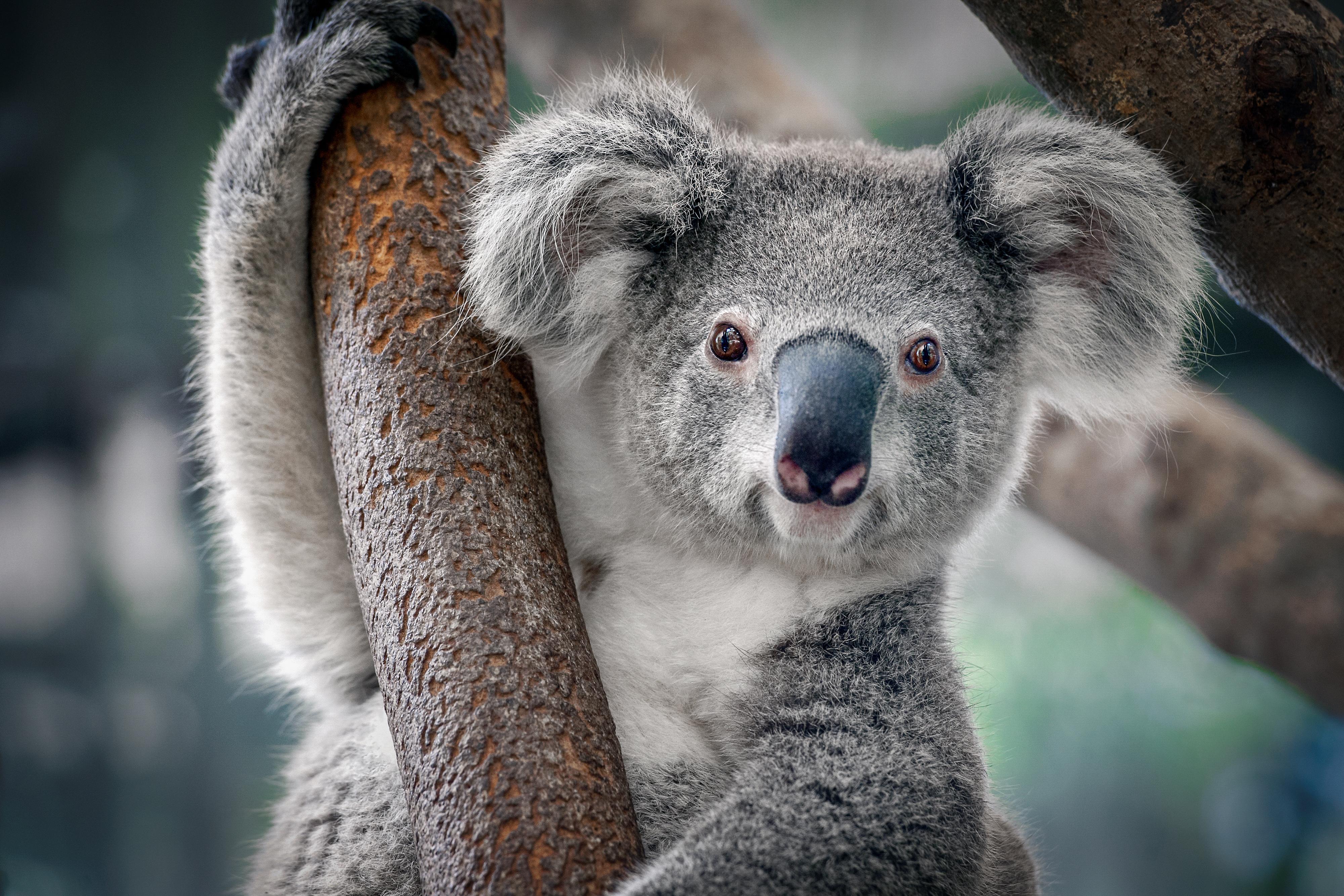 Psička Taylor pomaga reševati koale v goreči Avstraliji