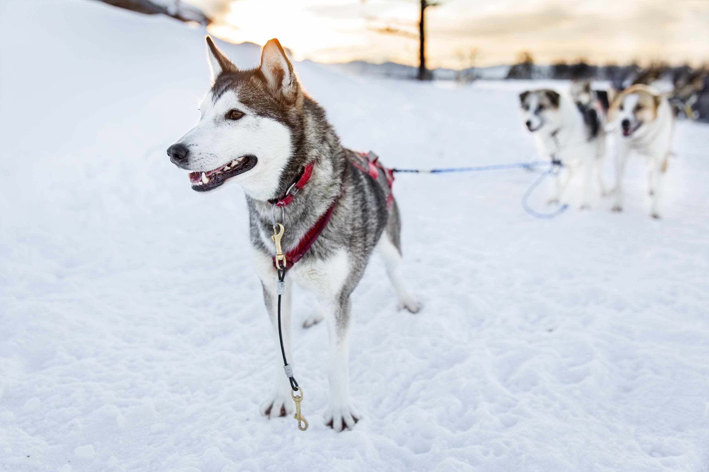 Togo - Disneyev film o psu, ki je pred davico rešil vas na Aljaski