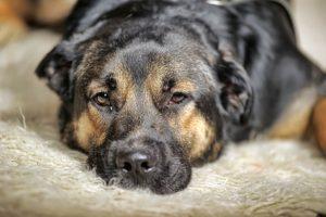 Pes v Hong Kongu okužen z novim koronavirusom