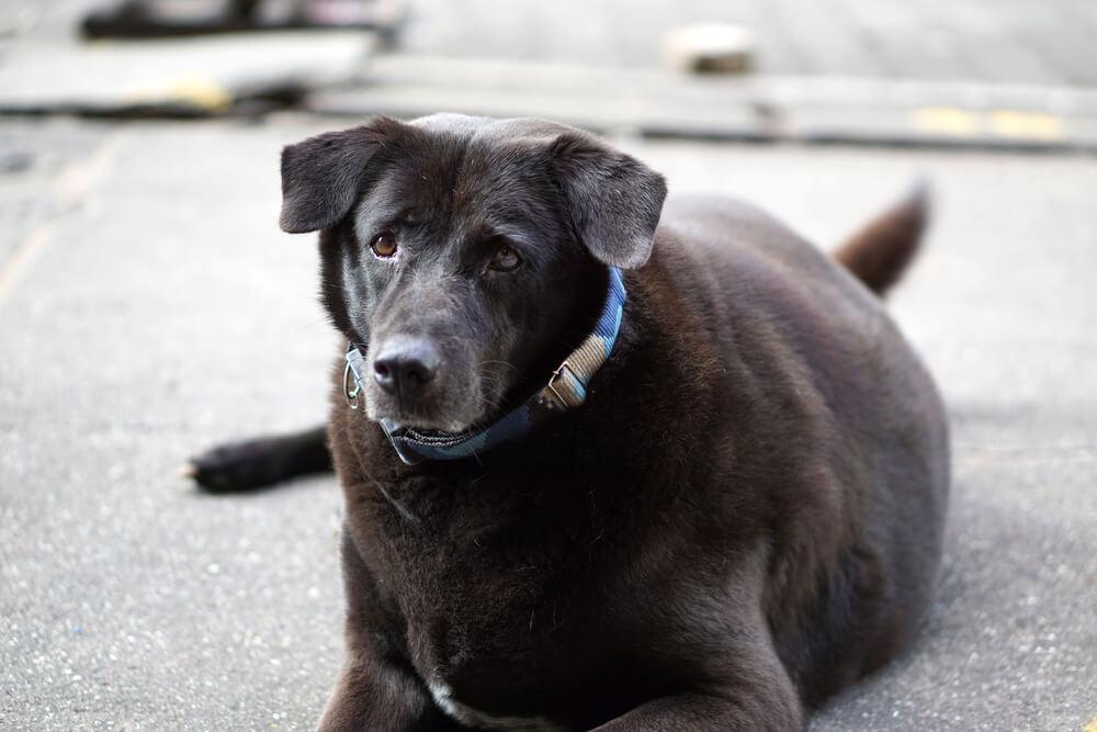 Debelost negativno vpliva na dolgoživost psa
