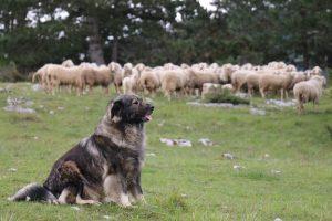 Ovčarski vs pastirski pes – kakšna je razlika?