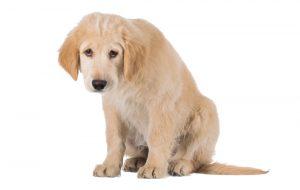 Pes res točno ve, da je nekaj ušpičil?