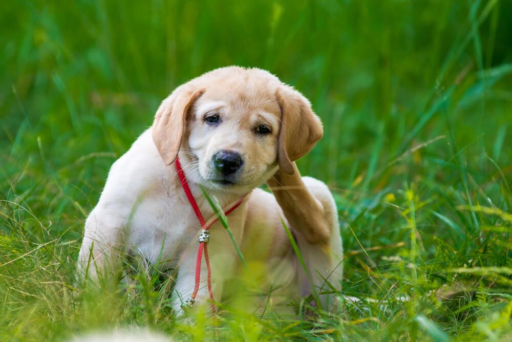 Bolhavost pri psu - kakšni so znaki?