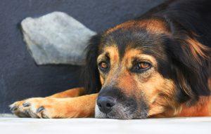 Slabokrvnost pri psu – kakšni so znaki