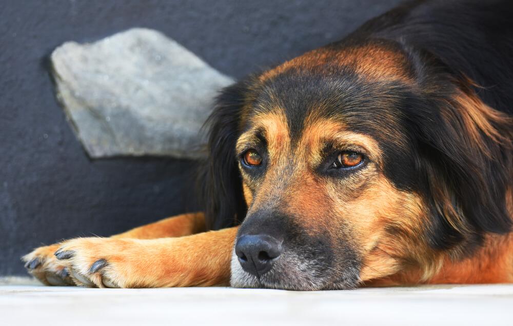 Slabokrvnost pri psu - kakšni so znaki