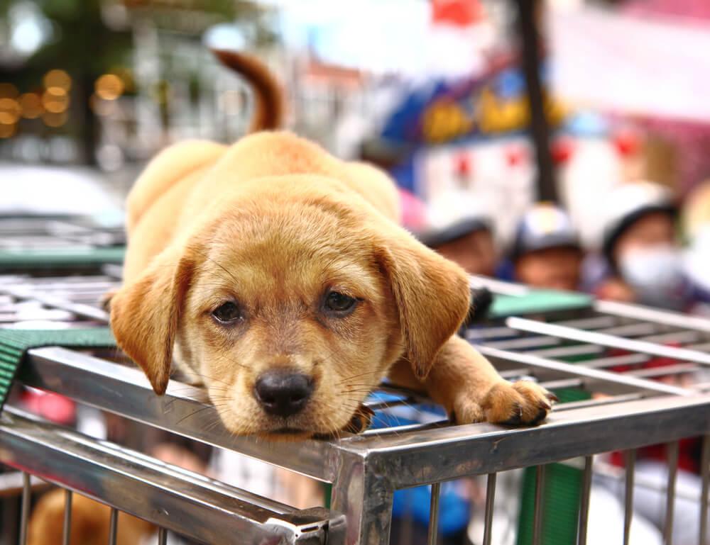 Kitajska razmišlja o prepovedi pasjega mesa za vso državo
