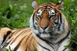 Tigrica v živalskem vrtu v New Yorku okužena z koronavirusom