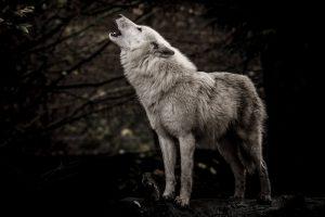 Zakaj volkovi tulijo?