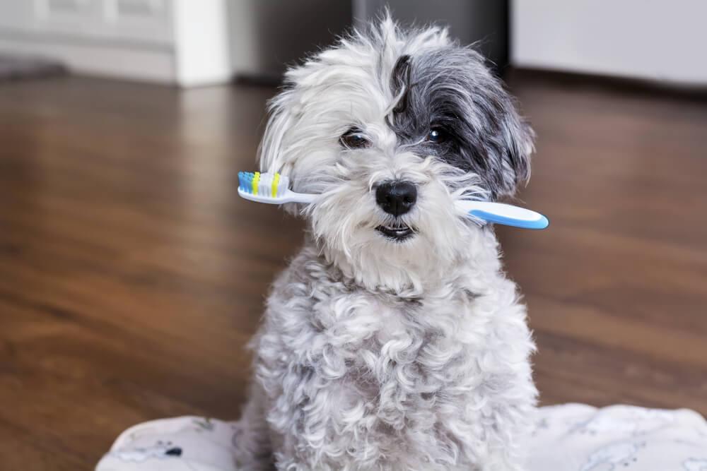 Kako psu ščetkati zobe?