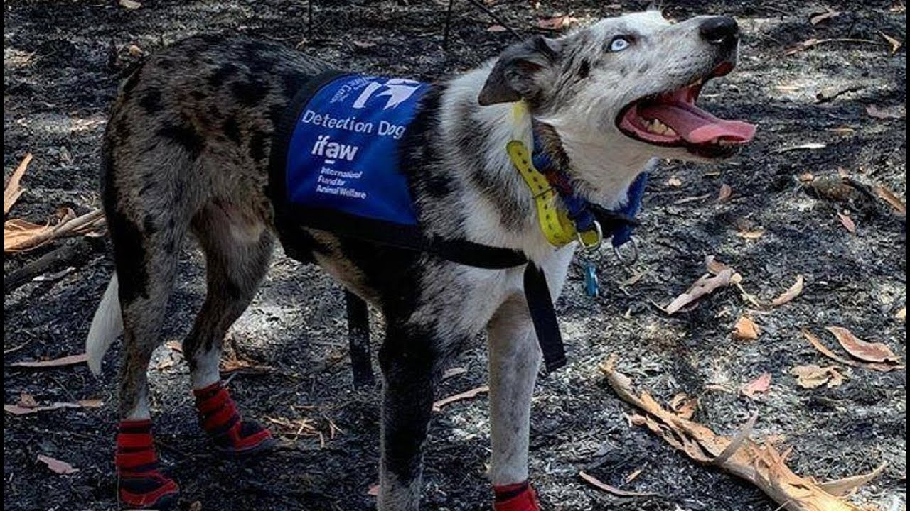 Kuža, ki ga je družina zapustila, rešil že več kot 100 koal