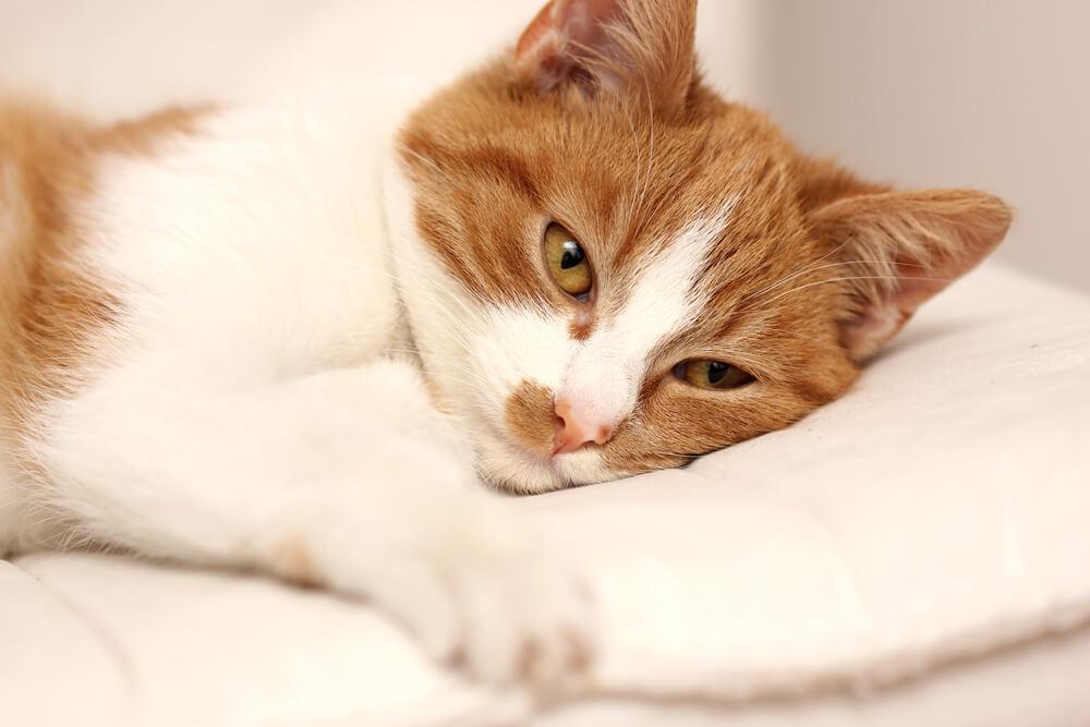 Kronična bolečina pri mačkah