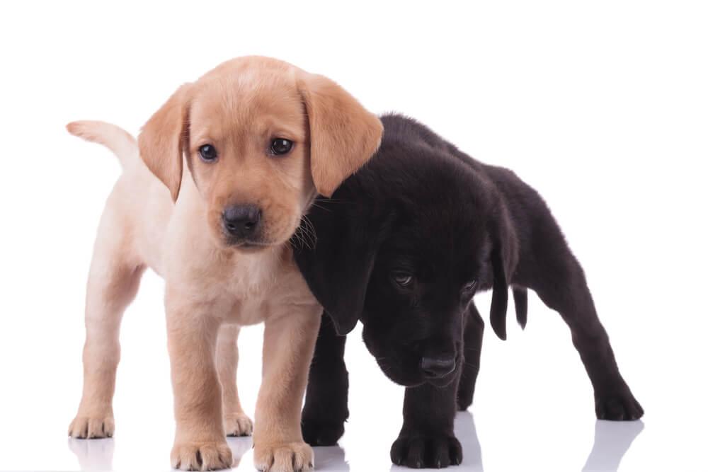 V ZDA labradorec že 29. leto na prvem mestu priljubljenosti