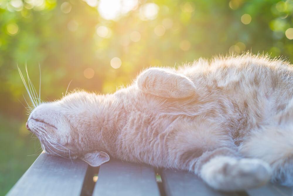 Sončne opekline pri mačkah: posebej občutljive so svetle mačke