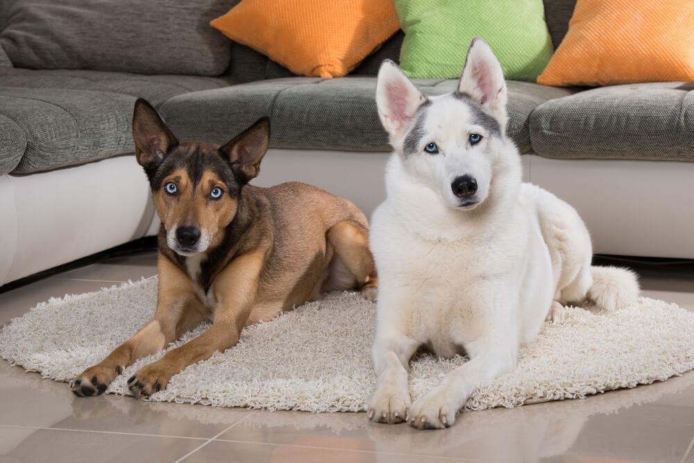 Drugi pes v hiši: kakšen spol naj izberem?