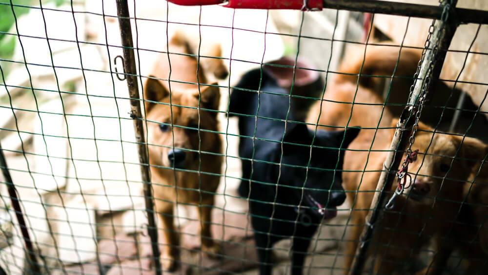 Tik pred festivalom pasjega mesa, kitajska vlada pse prvič imenovala za 'sopotnike'