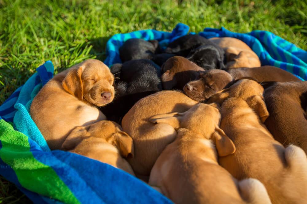 Labradorka skotila kar 14 mladičkov