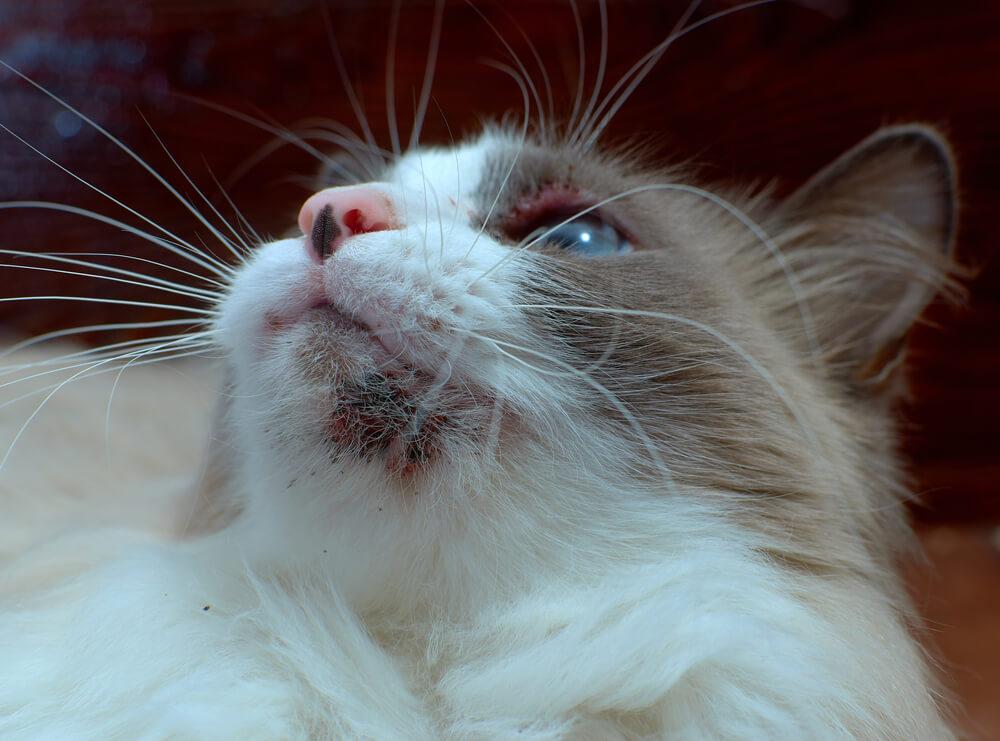 Mačje akne