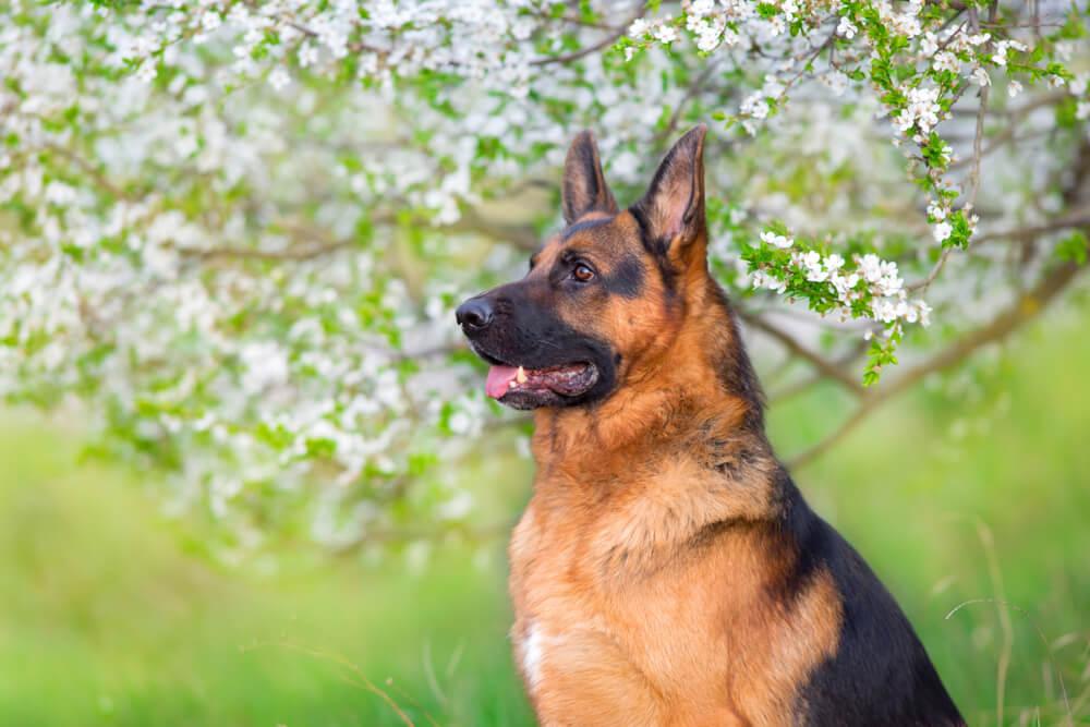 Zvest pes umrl ob grobu svojega lastnika, kjer ga je čakal kar 12 let!
