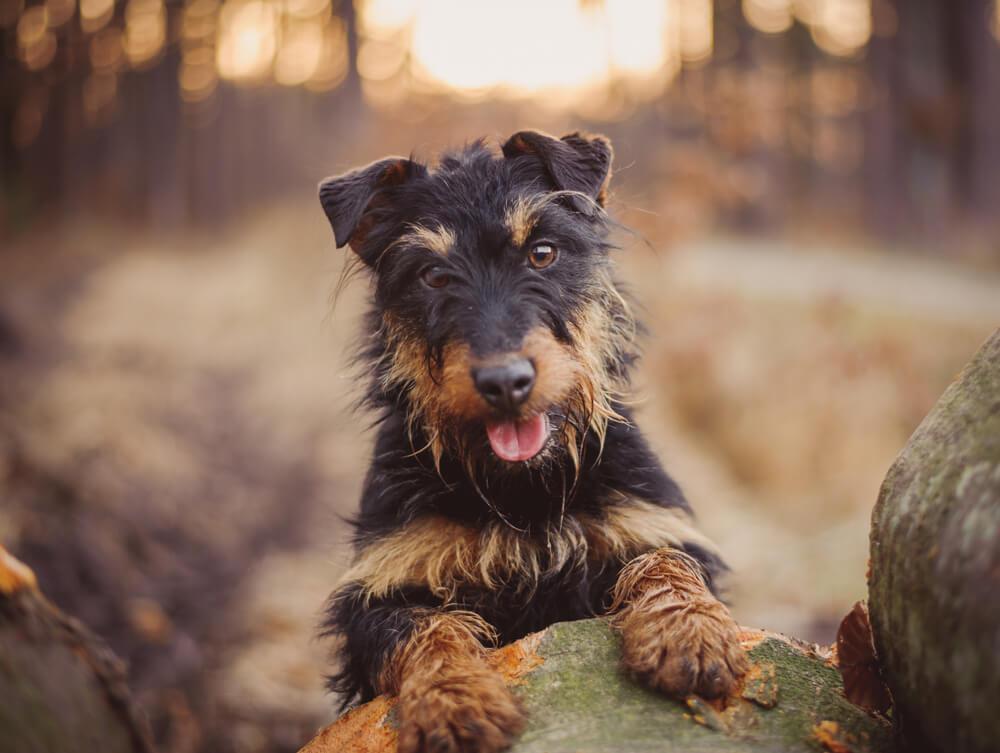 Nemški lovski terier