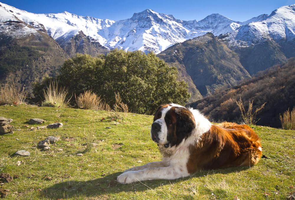 Pet ur so z najvišje angleške gore reševali bernardinko Daisy