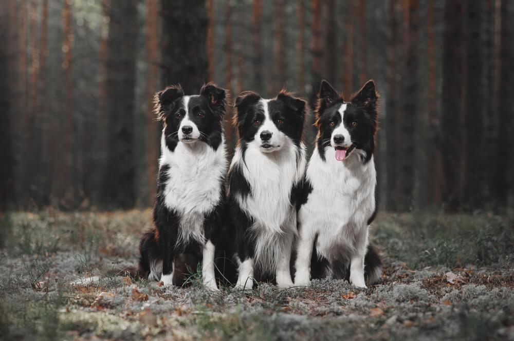 Dve sestri in njuni trije borderski ovčarji obnavljajo gozdove v Čilu po požarih