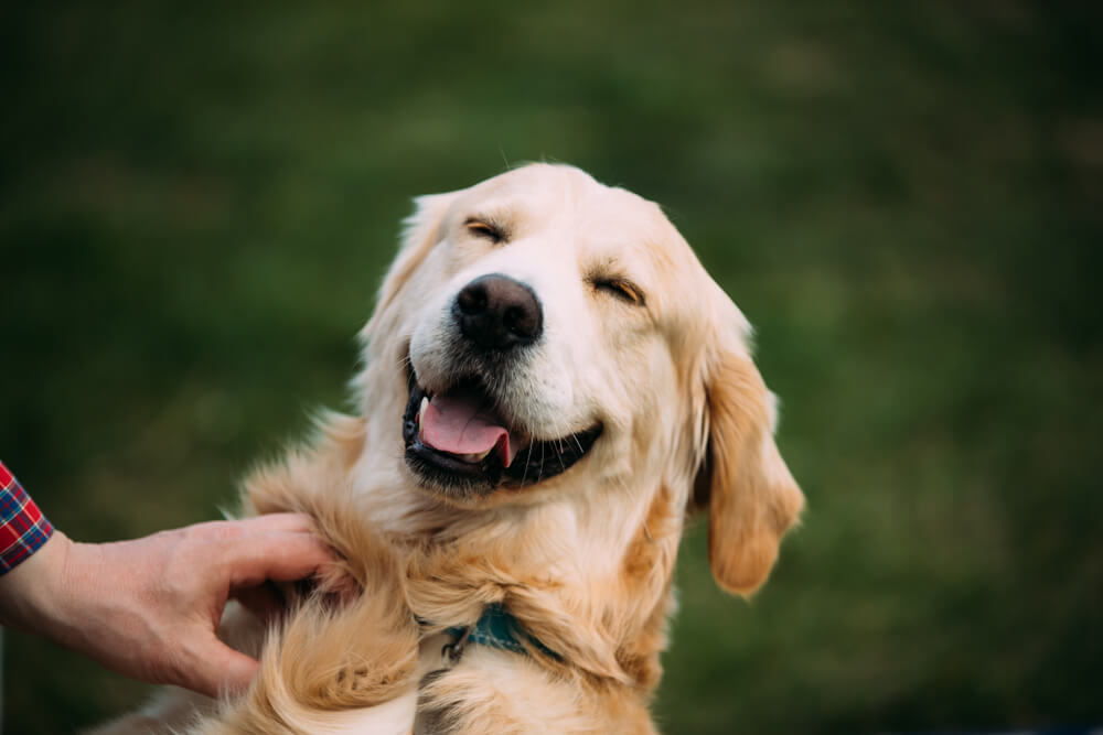 Pogrešani labradorec Cleo najden 80 km stran, na verandi starega doma