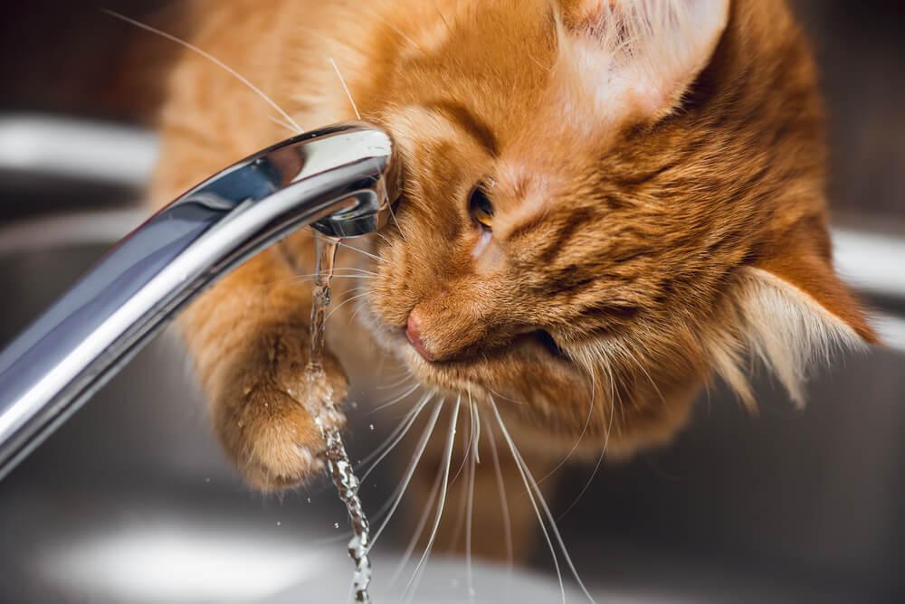 Ali mačka pije dovolj lahko preverite tudi sami