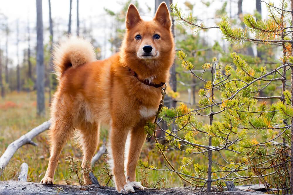 Katere so najbolj redke pasme psov v Sloveniji?