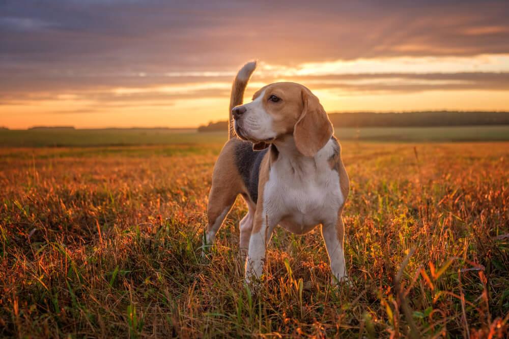 Izbira psa zgolj na podlagi videza je pogosto napačna