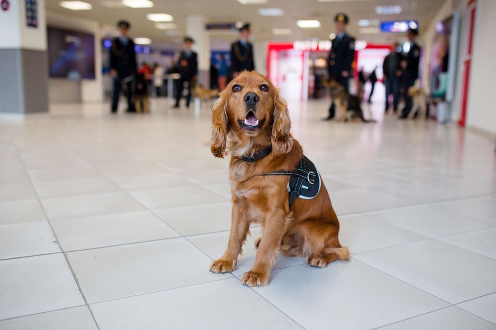 Na dubajsko letališče poslali pse, trenirane za odkrivanje covid-19