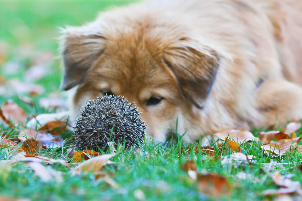 Je jež za psa nevaren?