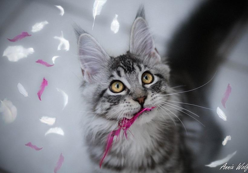 Najpogostejše laži preprodajalcev in prodajalcev pasemskih mačk