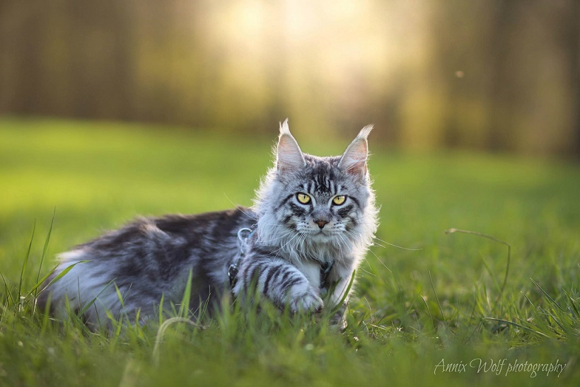 Nakup pasemske mačke