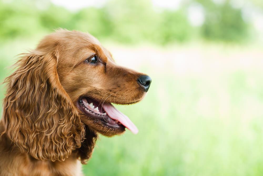 Ukradeni pes, ki so ga prodali za 140 evrov, spet združen s svojo družino