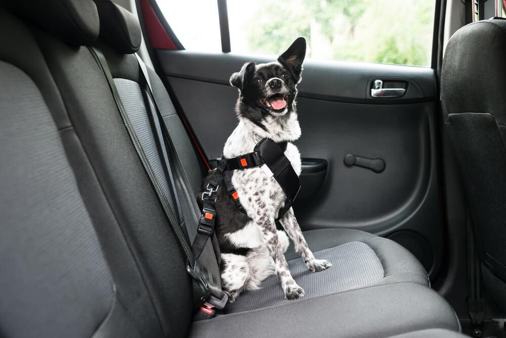 Privajanje psa na vožnjo z avtom: 7 korakov