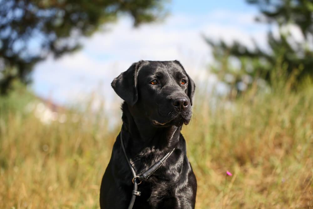 Ustreljena in zlorabljena psička Izzy končno našla topel dom