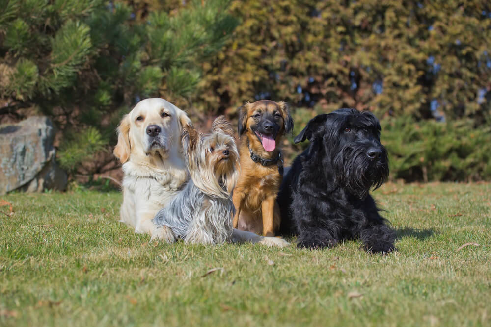 Izbira psa: pasemski ali mešanček?