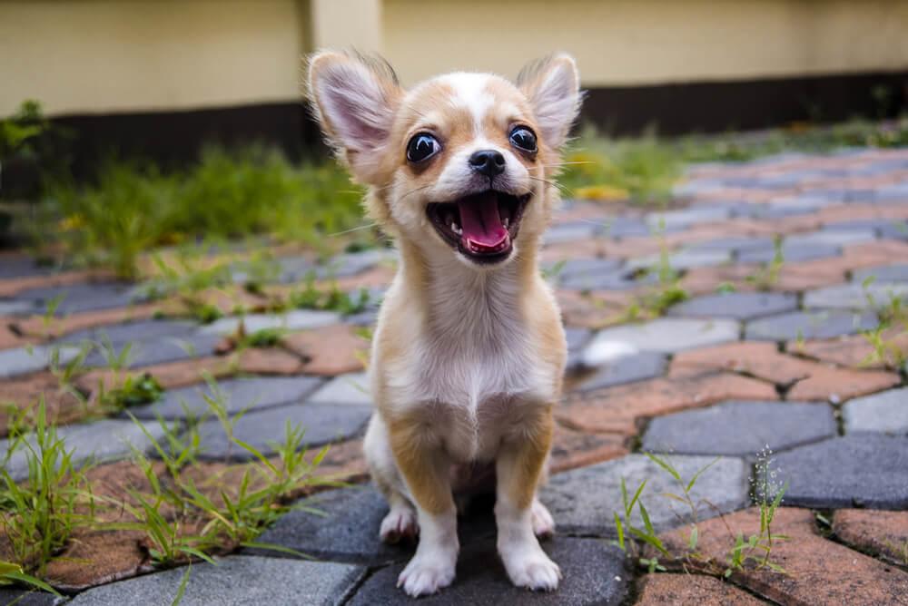 Najmanjše pasme psov: čivava na 1. mestu