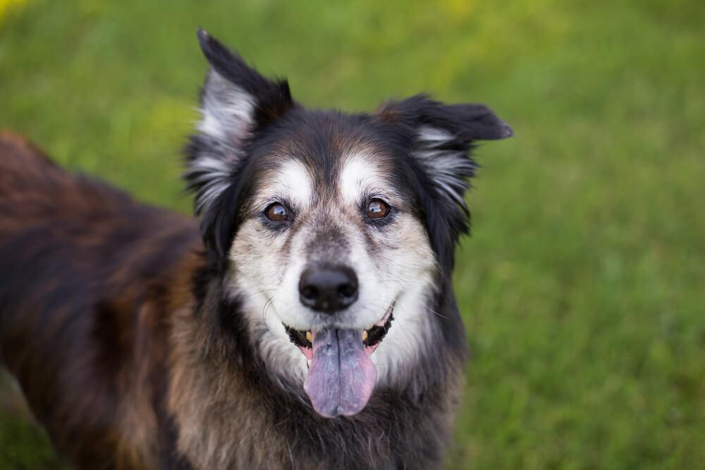 Najstarejši pes na svetu: uradno Bluey, neuradno Maggie