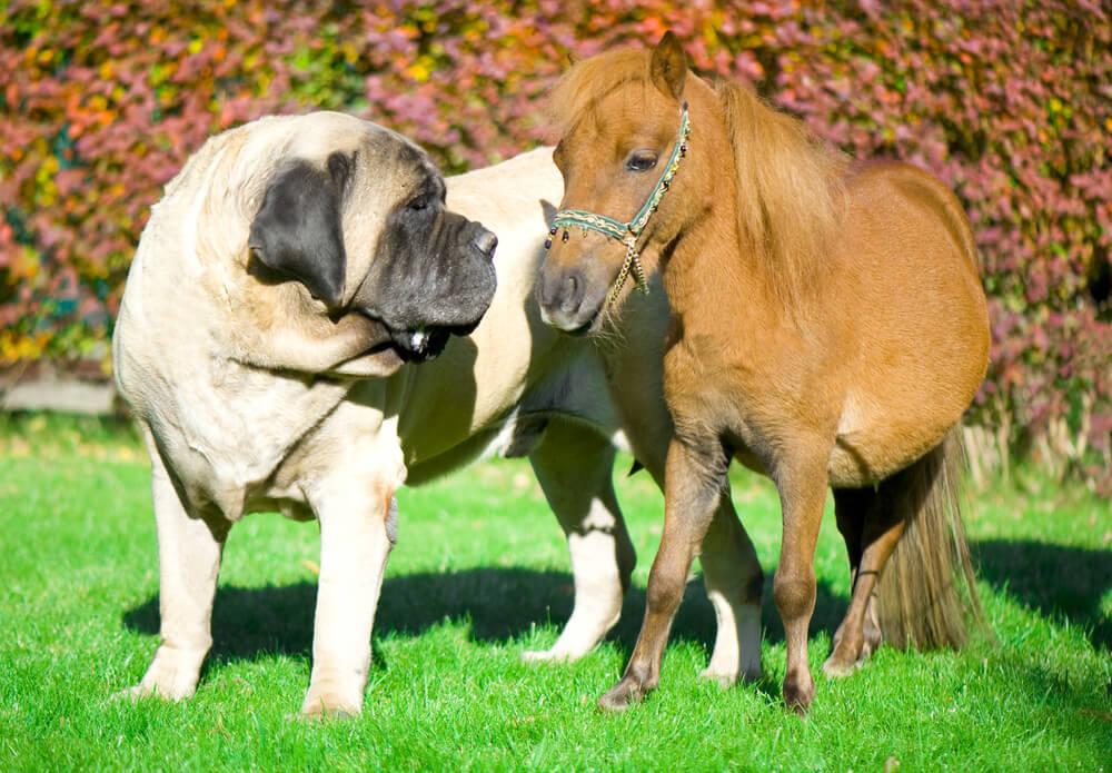 Največje pasme psov na svetu