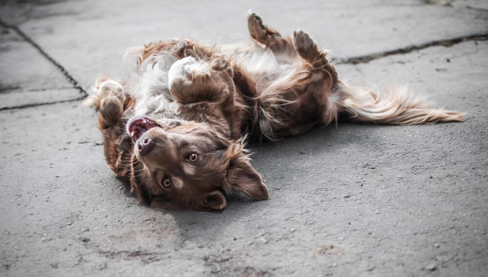 Največje zmote o vedenju psov
