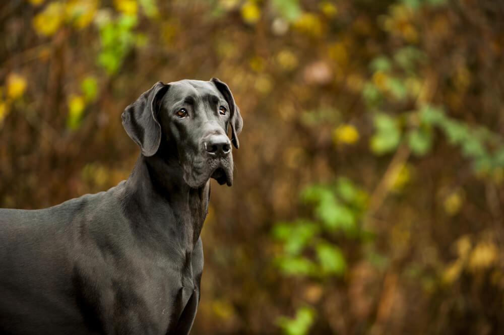 Zeus, največji pes na svetu, v višino meril kar 111,8 cm!