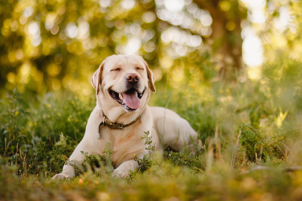 Američani imajo najraje labradorce, najbolj priljubljeno pasje ime pa je Max