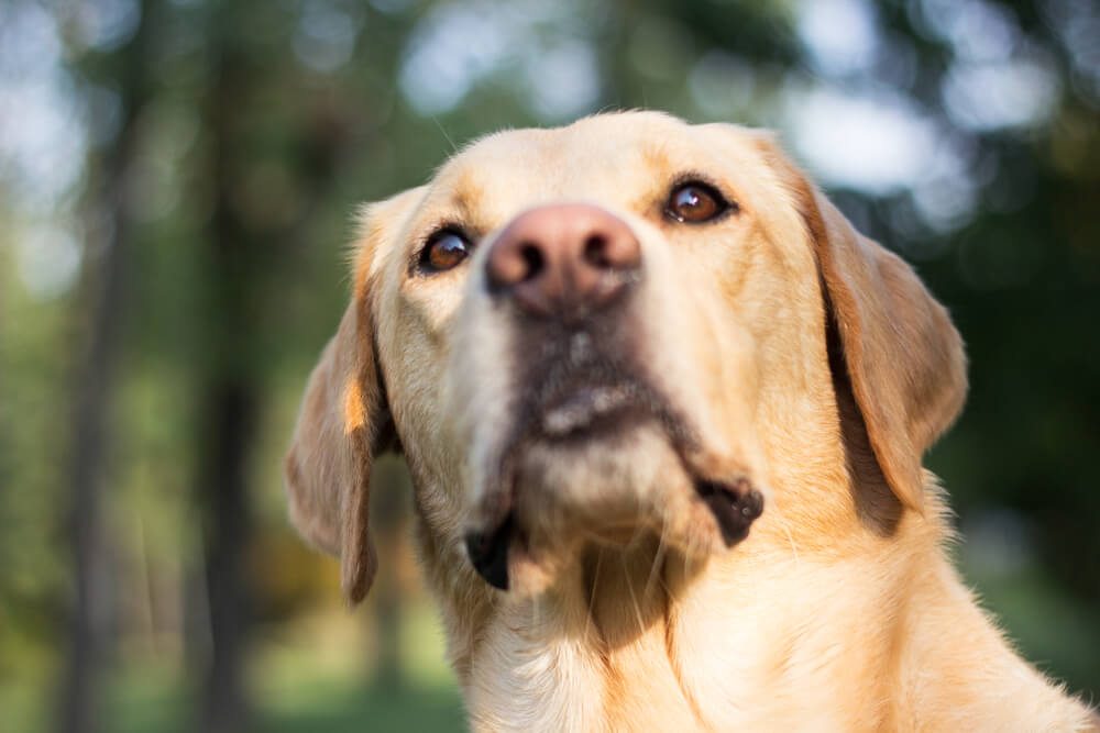 Pes Odin preživel, potem ko med kalifornijskimi požari ni želel zapustiti svojih ovc