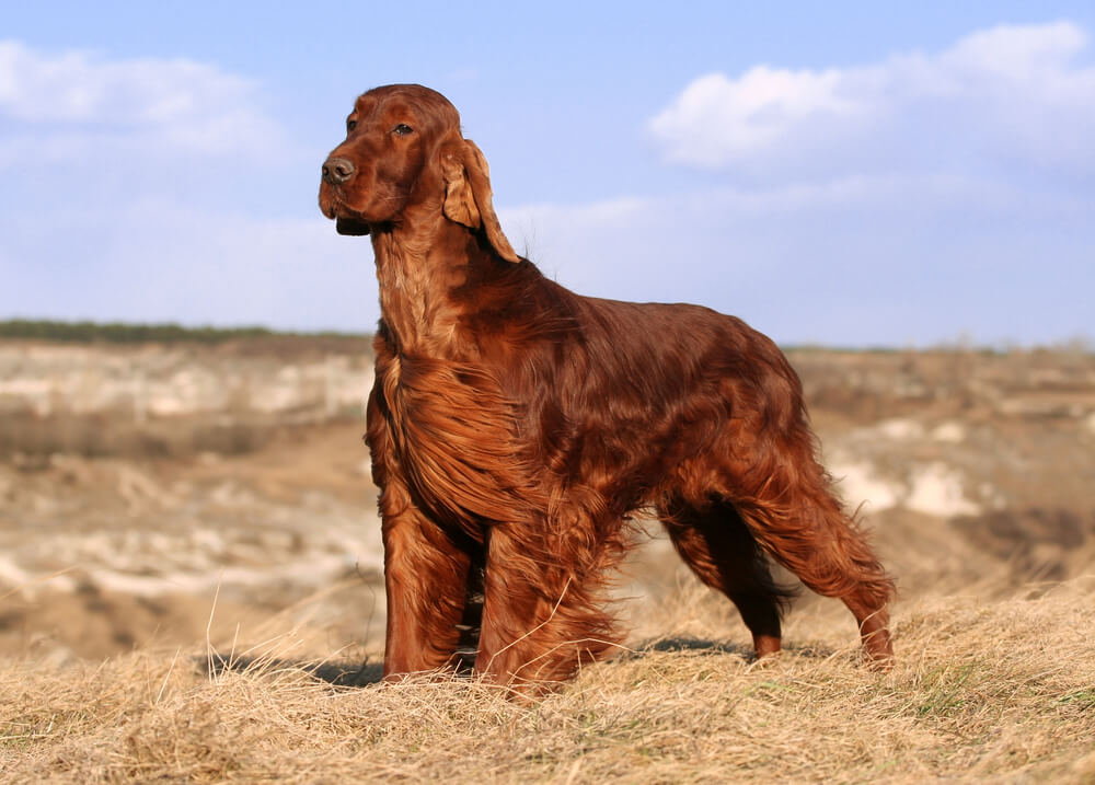 10 najbolj elegantnih pasem psov