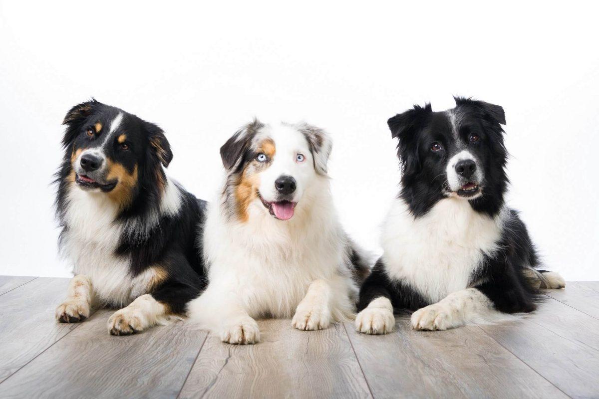 Profesionalne fotografije vašega psa v naravi ali studiu