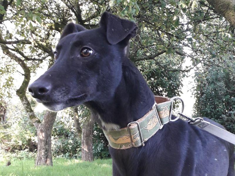 Greyhound Solo išče dom
