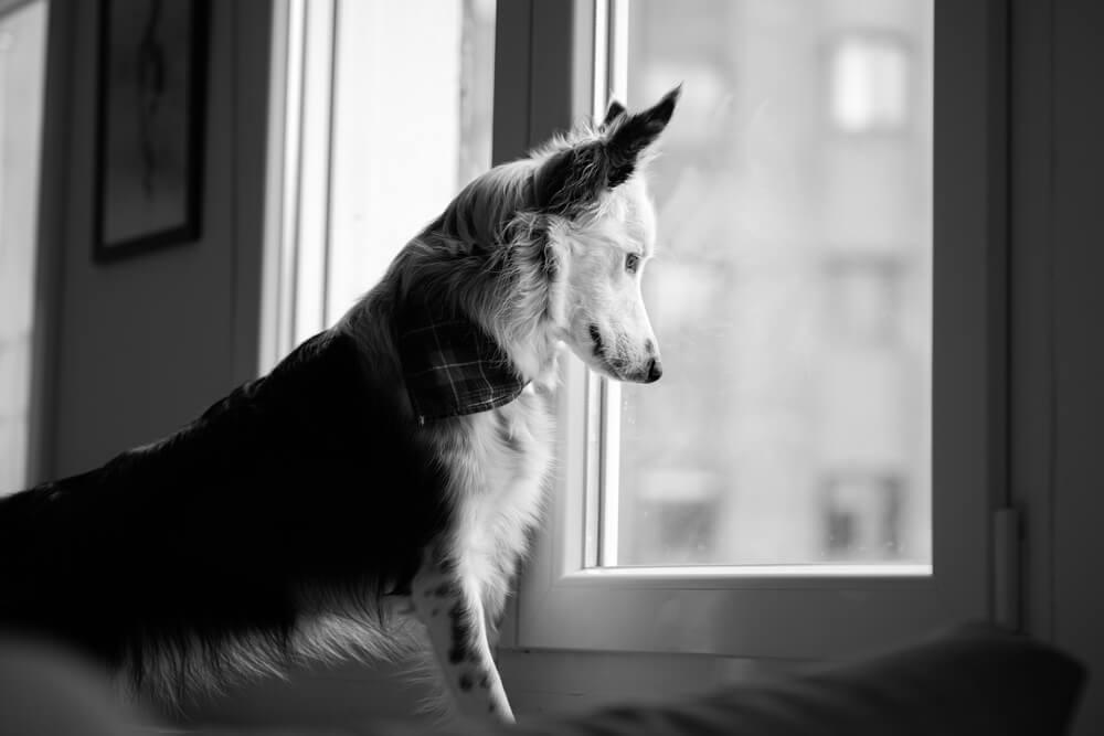 Kamera razkrila, da enoletni borderski ovčar lastnico cel dan čaka ob oknu, da se vrne