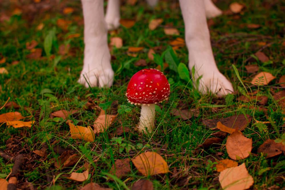 Kako (ne)varne so za pse gobe in kostanj?