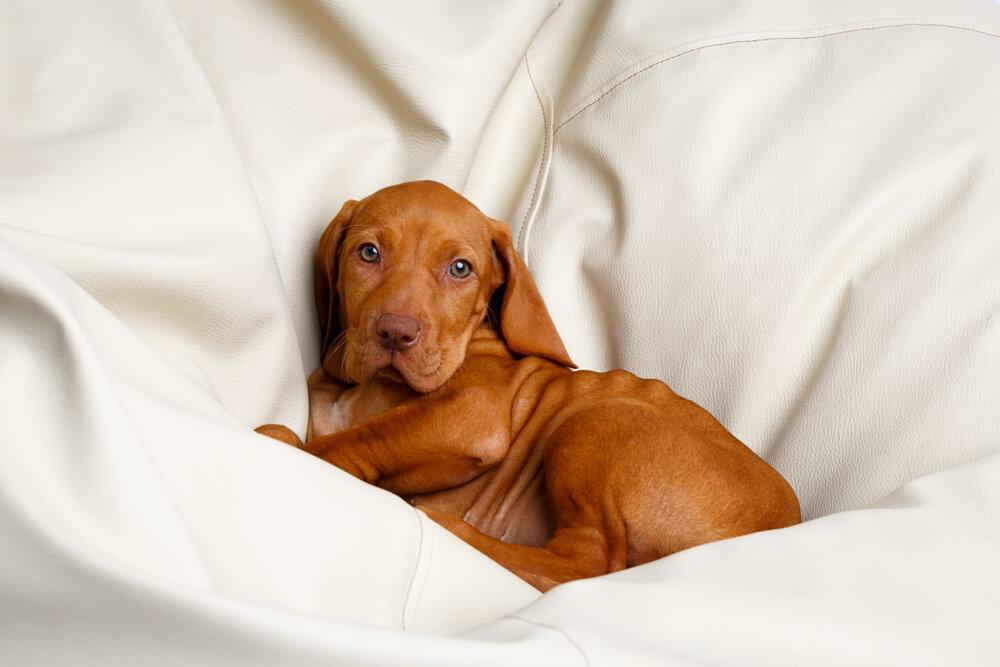 Pasme psov brez vonja